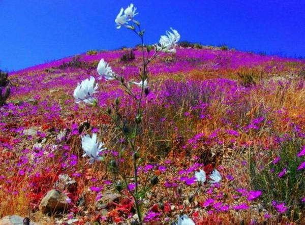 fleurs-desert-chili