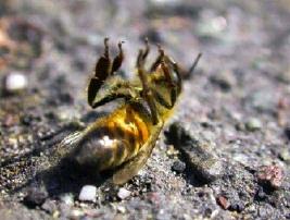 http://www.laterredufutur.com/spaw/images/abeille-morte.jpg